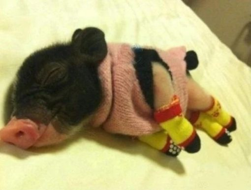 Micro pig wearing socks