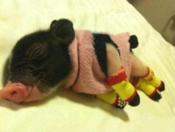 Micro pig wearing socks