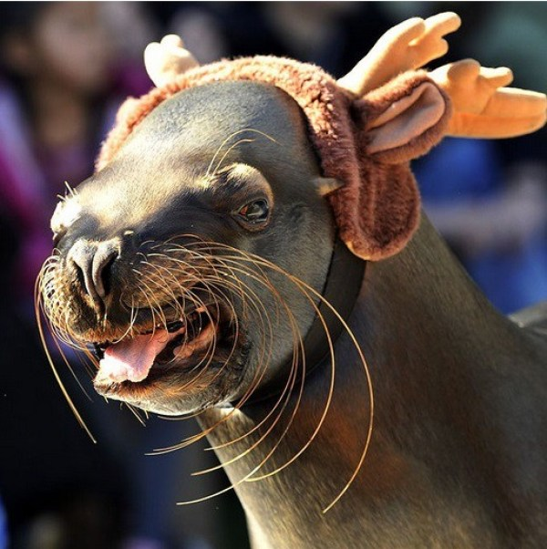 Sea Lion Dressed as a Reindeer