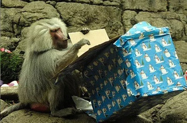 Baboon With a Christmas Present