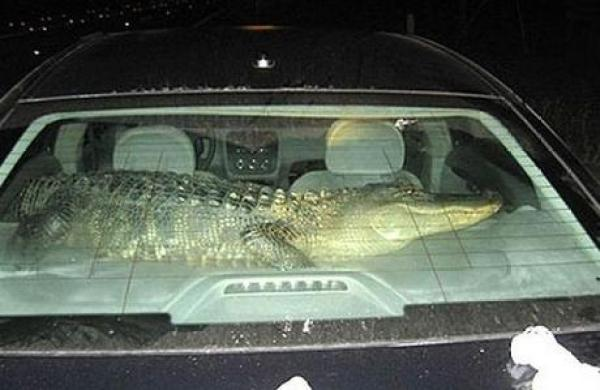 Crocodile travailing in a car