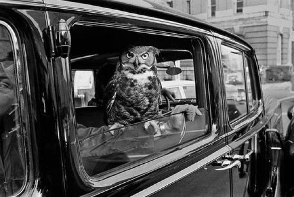 Owl travailing in a car