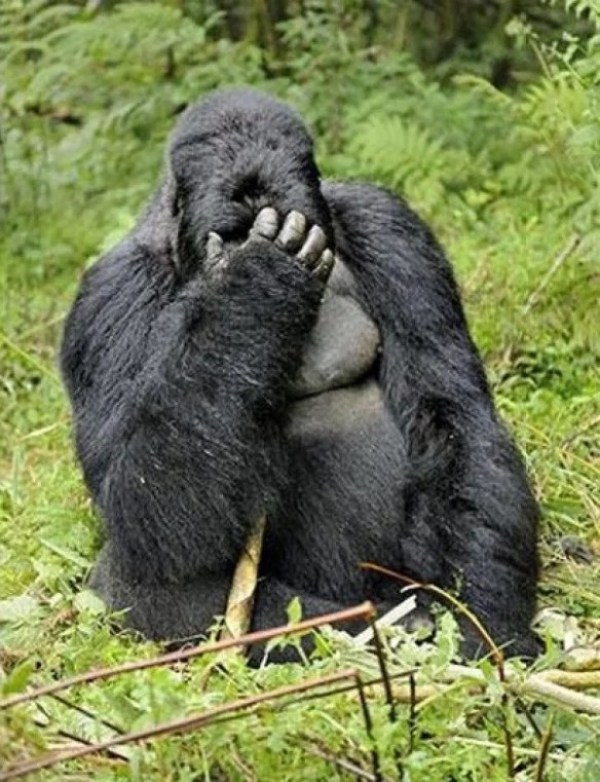 Gorilla that looks like it has a hangover