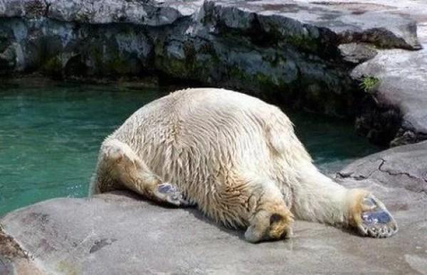Polar Bear that looks like it has a hangover