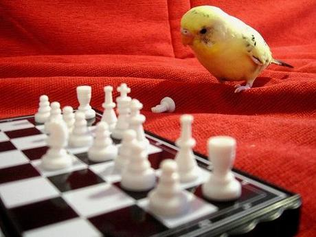 Budgie playing Chess