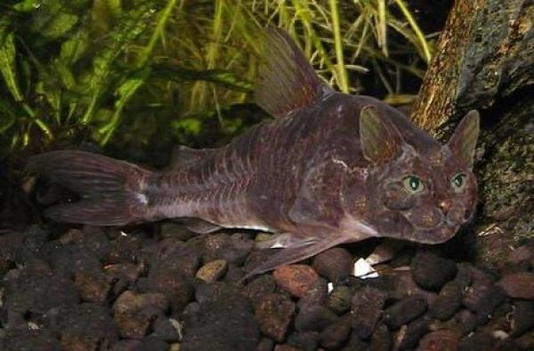 What a Catfish should really look like