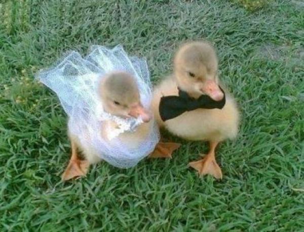 Ducks Getting Married