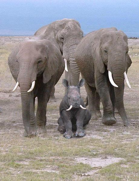 Rhino pretending to be an elephant
