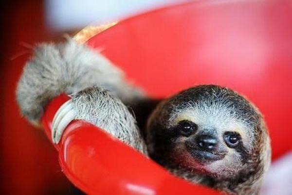 Baby sloth in a Bucket