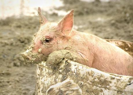Pig in a Bucket