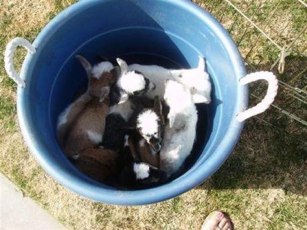 Goats in a Bucket