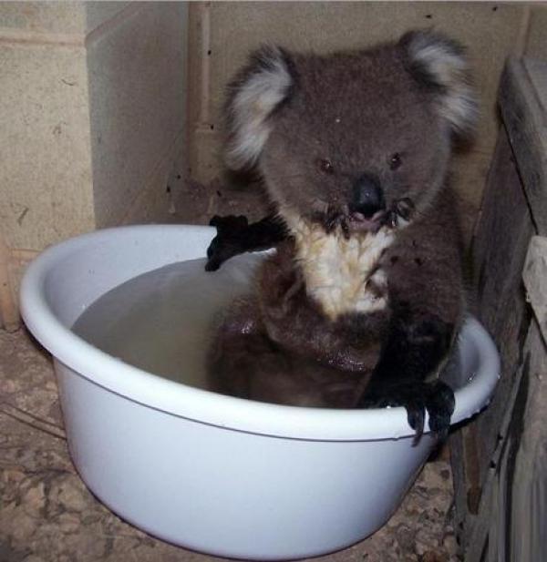 Koala in a Bucket