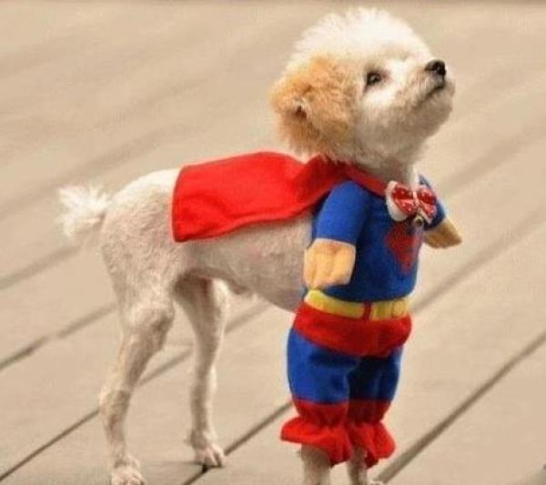 Dog in a Superman Costume