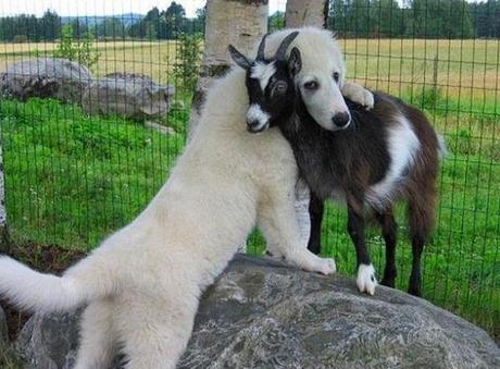 Large dog hugging a goat