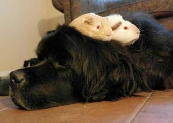 Large dog with guinea pig on its back