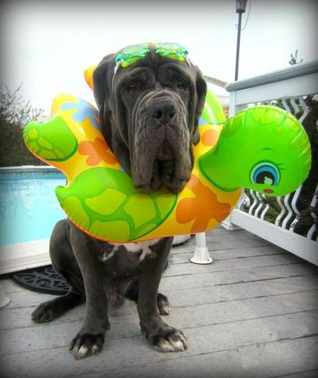 Large dog in a swimming ring
