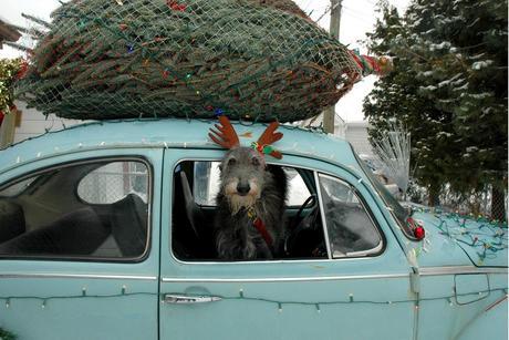 Large dog dressed as a reindeer