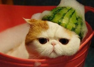 Cat Wearing a Helmet Made From Watermelon