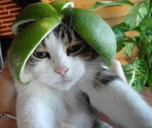 Cat Wearing a Helmet Made From Lime
