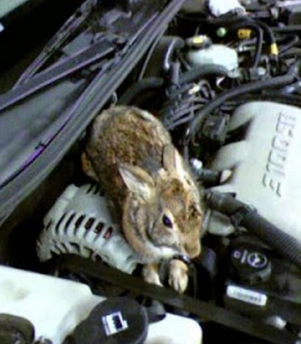 Top 10 Animals Found in Car Engines
