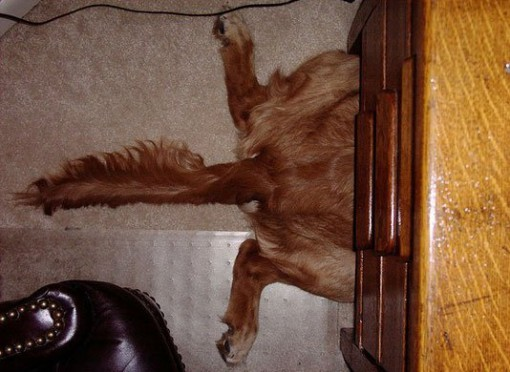 Ten Pictures Of Dogs Who Are Terrible At Hide And Seek