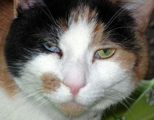 Top 10 Cats with Different Coloured Eyes