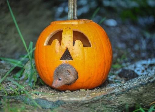Dwarf mongoose Inside a Pumpkin