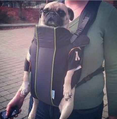 Top 10 Crazy Ways To Transport a Pug