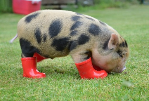 Top 10 Pictures of Pigs in Boots & Shoes