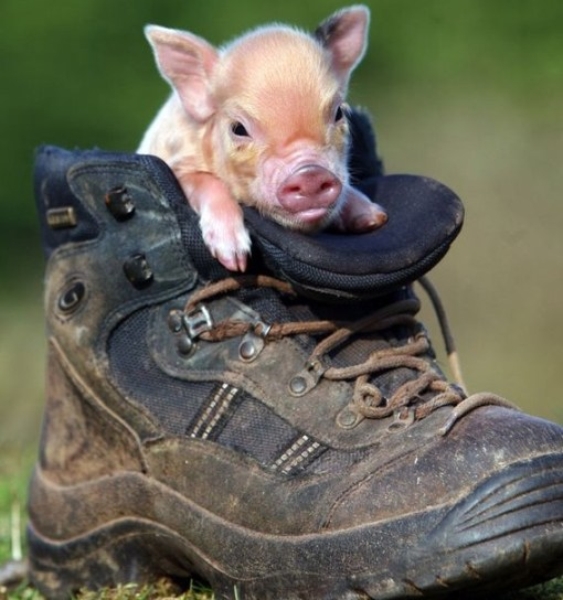 Top-10-Pictures-of-Pigs-in-Boots-9.jpg?r