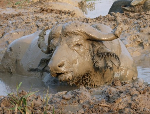 Top 10 Dirty Animals Covered in Mud