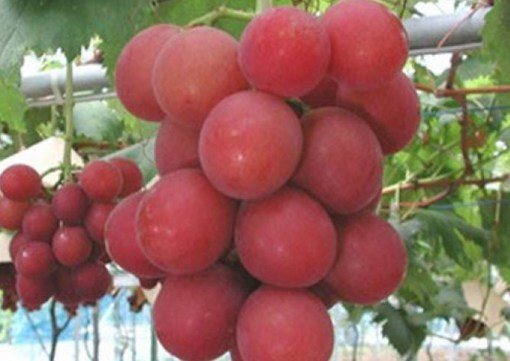 Top Rare And Very Unusual Grapes