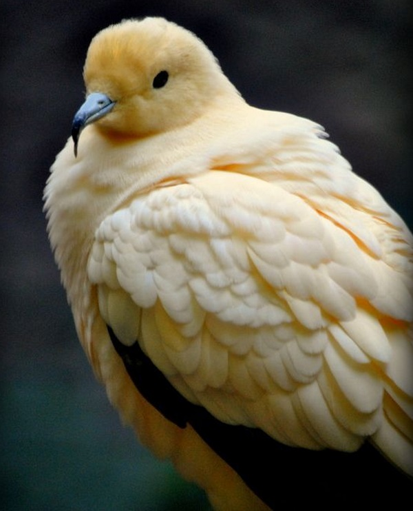 Top 10 Rare and Unusual Pigeons