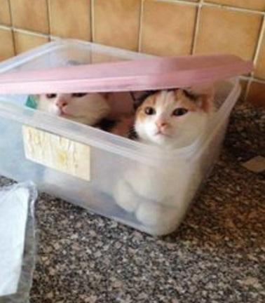 Cats in a Sandwich Box