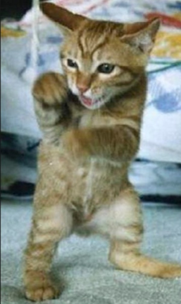 Top 10 Highly Aggressive Cats Who Want To Fight You