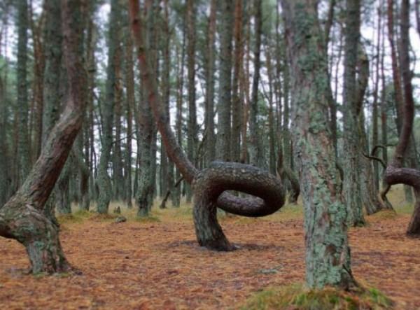 The Dancing Forest, Kaliningrad