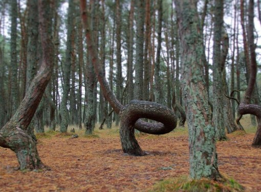 The Dancing Forest, Kaliningrad
