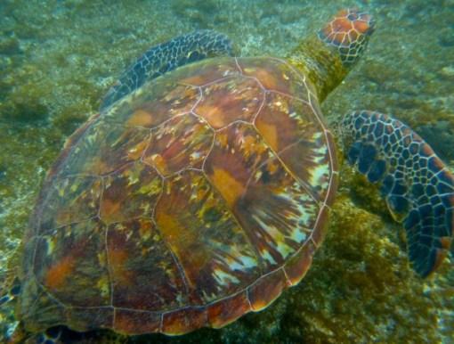 Hanga Roa Harbour Sea Turtles, Easter Island