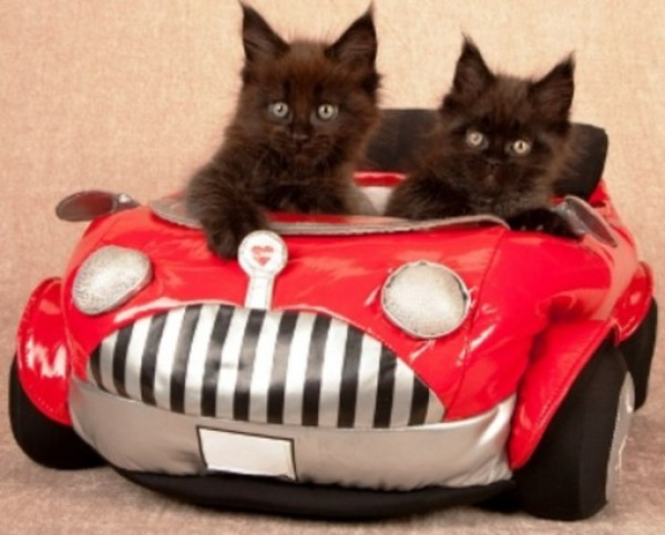 Cat Driving A Beach Buggy