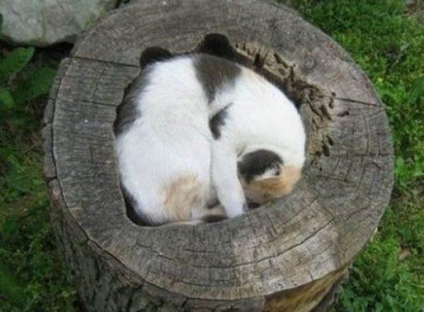 Cat Asleep Inside a Tree Stump