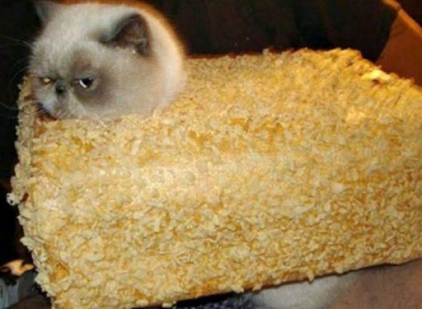Cat Looks Like a Rice Crispy Bar