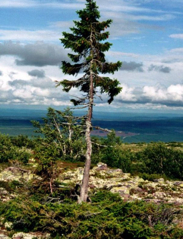 Old Tjikko, Mountain of Dalarna