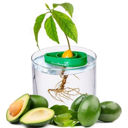 Avocado Tree Growing Kit