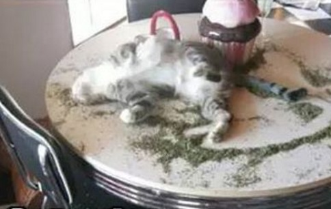 Cat on Catnip