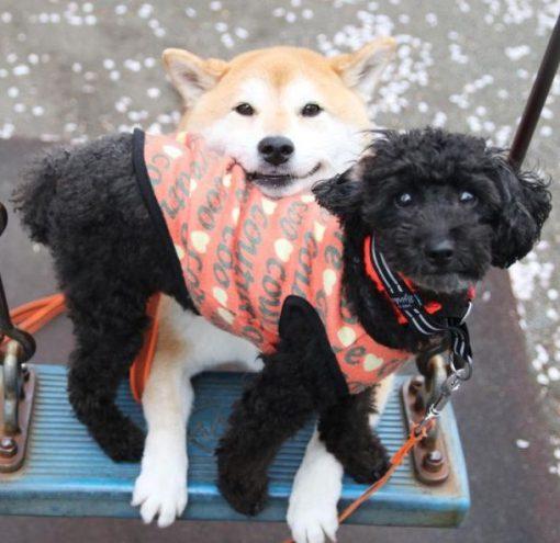 Dogs on Playground Swing
