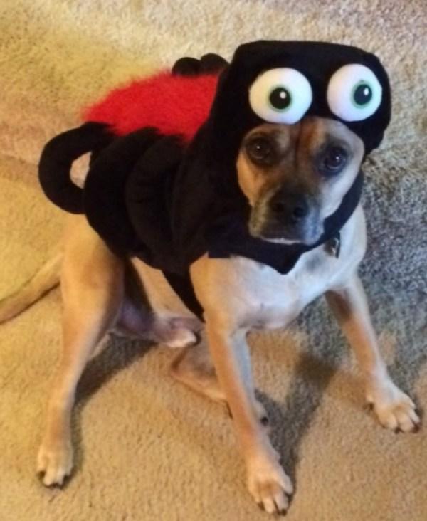 Spider Dog Costume Fail
