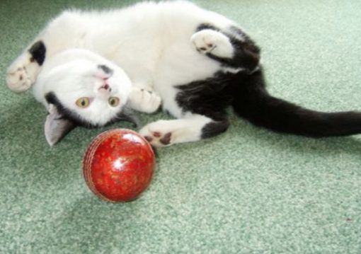 Cat Playing Cricket