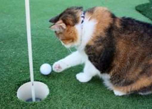 Cat Playing Golf