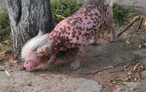 Dog Who Looks Like a Pig