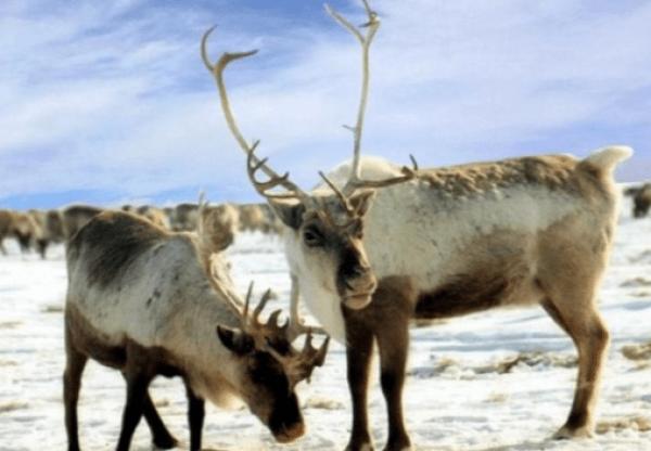 Kamchatka Reindeer
